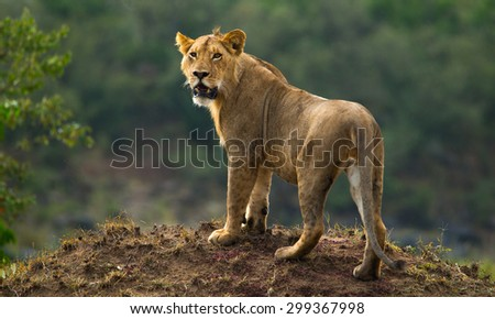 A lion in Kenya's Masai Mara - stock photo