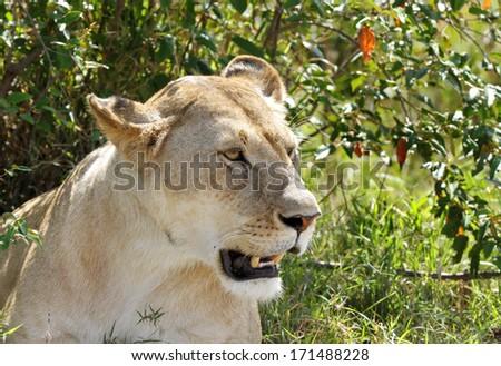 A lion in the Mara bush - stock photo