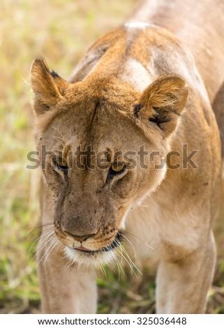 A lion (Panthera leo) on the Maasai Mara National Reserve safari in southwestern Kenya. - stock photo