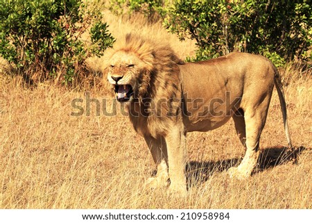 A lion (Panthera leo) on the Masai Mara National Reserve safari in southwestern Kenya. - stock photo