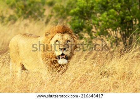 A lion (Panthera leo) on the Masai Mara National Reserve safari in southwestern Kenya.