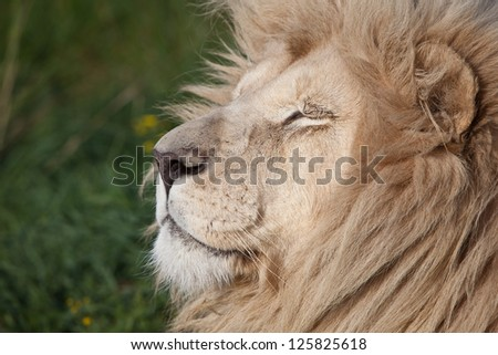 A lion (Panthera leo) relaxes in the late afternoon in a South African game park.  Males can exceed 250 kg and are impressive predatory cats. - stock photo