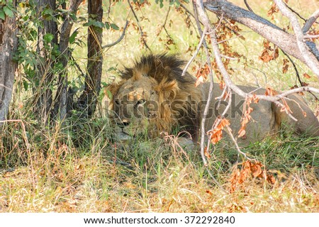 a lion resting on the ground at the Moremi Game Reserve in Botswana, Africa - stock photo