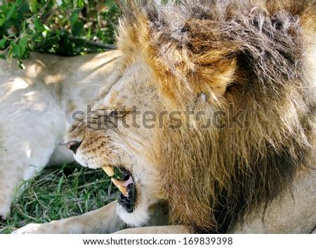 A lion roaring - stock photo