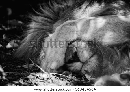a lion sleeping in kruger national park