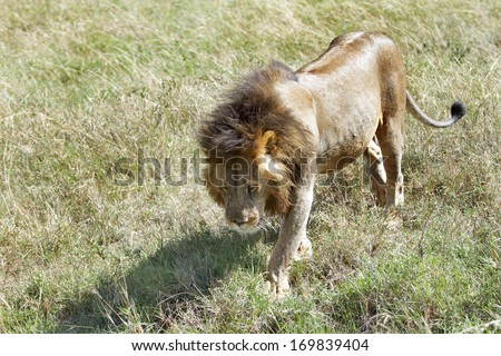 A lion walking on the grass - stock photo