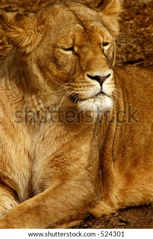 A lioness
