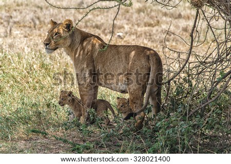 A lioness and two cubs. Image taken in Ngorongoro Crater, Tanzania.