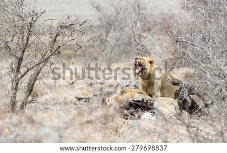 A Lioness cries out at a Zebra kill in Kruger Park, South Africa.