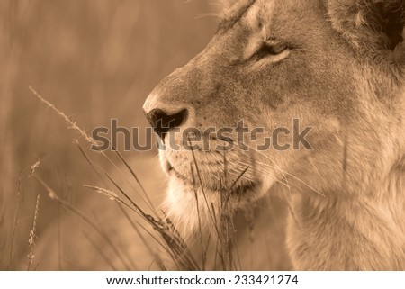 A lioness focussing in black and white. - stock photo