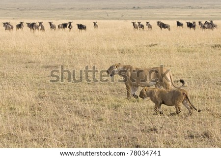 A lioness & her cub walk on the plains of the Masai Mara in Kenya. - stock photo