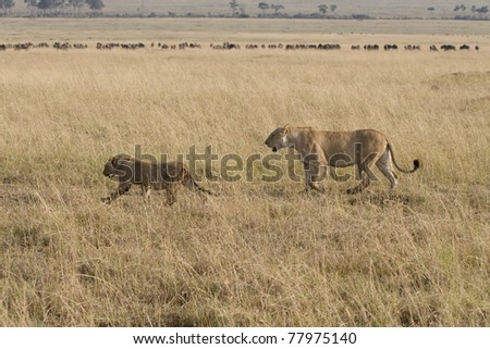 A lioness & her cub walk the plains of the Masai Mara. - stock photo