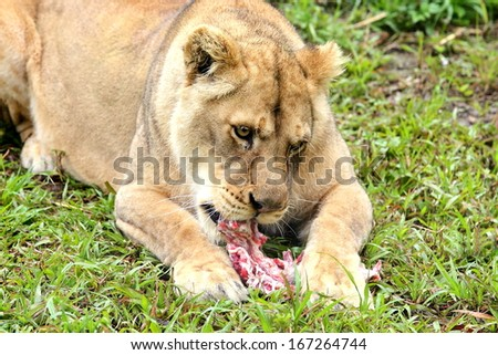 A lioness is eating. - stock photo