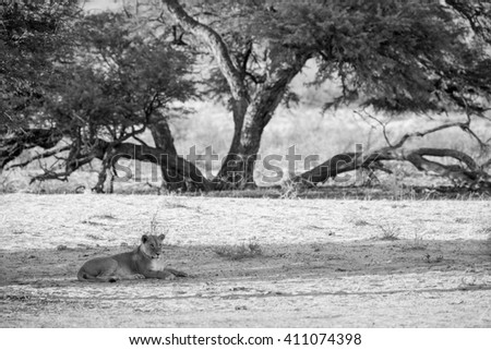 A lioness lying in the riverbed with a large camelthorn tree in the background. She is observing any movements that might be prey. In black and white, monochrome. - stock photo