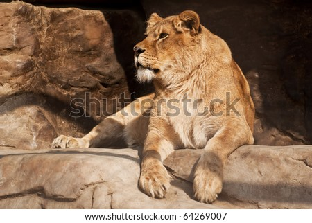 a lioness lying on the edge of a stone rock - stock photo