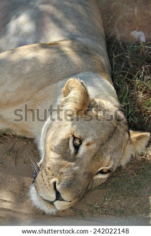 A lioness lying on the ground in a game park. - stock photo