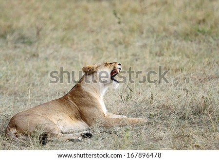 A lioness opening her mouth - stock photo
