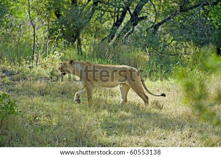 A lioness out hunting in the forest