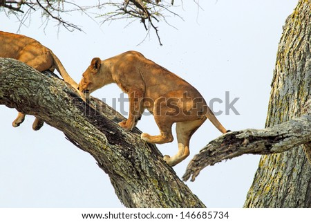A lioness (Panthera Leo) climbing a tree in Serengeti National Park, Tanzania - stock photo