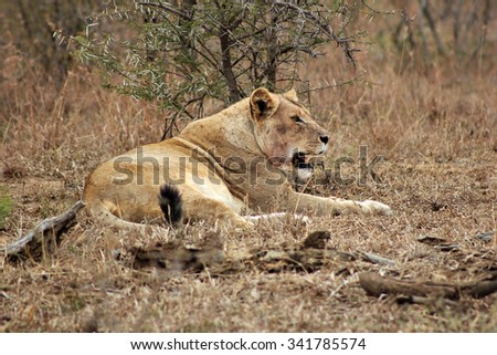 A lioness relaxing after a kill in a nature reserve in South Africa. Note the blood stains around her neck. - stock photo
