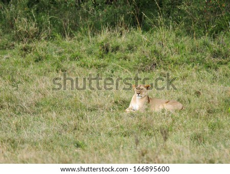 A lioness relaxing in the grassland  - stock photo