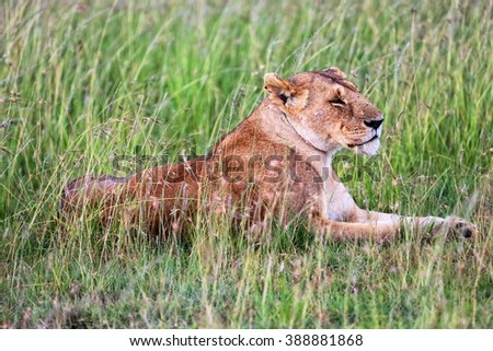 a lioness resting in tha grass at masai mara national park kenya - stock photo