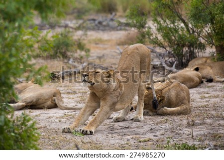 A lioness stretching in amongst the rest of her sleeping pride - stock photo