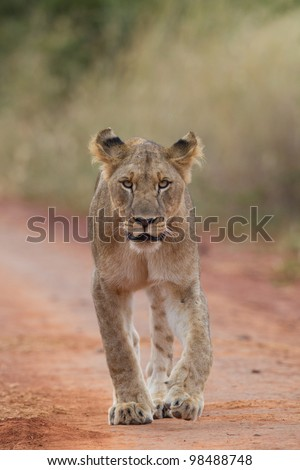 A lioness walking directly towards the camera in the Madikwe Game Reserve - stock photo