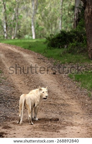 A lioness walks away with beautiful forest setting and path.