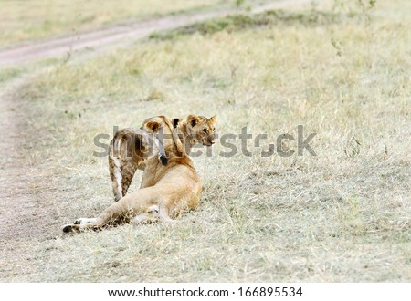 A lioness with a cub - stock photo