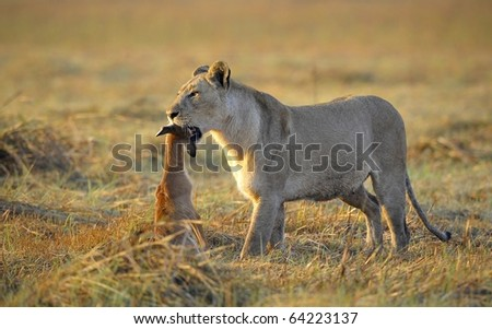 A lioness with new-born antelope prey. The lioness goes on savanna and bears the killed kid of an antelope. A yellow grass. The morning sun.