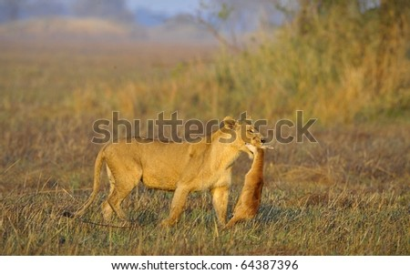 A lioness with new-born antelope prey. The lioness goes on savanna and bears the killed kid of an antelope. A yellow grass. The morning sun. - stock photo