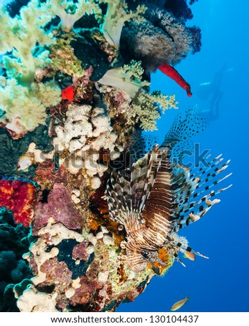 A Lionfish on a hard coral with SCUBA divers in the background