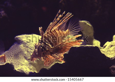 A lionfish out for a swim in the ocean.