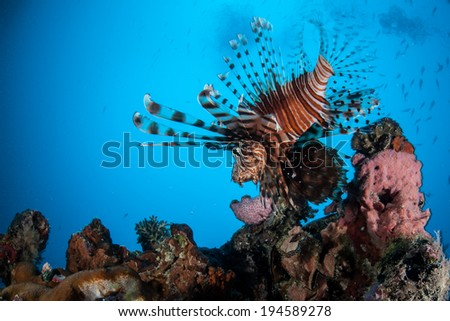 A lionfish (Pterois volitans) hunts small fish on a shipwreck in Palau. Lionfish, native to the Indo-Pacific region, have venomous spines that are used in defense.