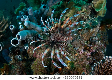 A lionfish (Pterois volitans) swims with its fins spread wide over a diverse coral reef in Indonesia.  Lionfish have venom sacs associated with their long spines.
