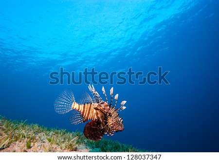 A lionfish swiming over seagrass with the sun behind