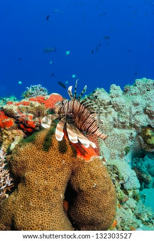 A lionfish swims next to hard coral on a tropical reef
