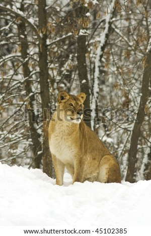 a lionness on snow in a winter scene - stock photo