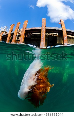 A lionsmane jellyfish floats in the sea next to the dock of Tiree during summertime - stock photo