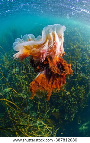 A lionsmane jellyfish in the seas of the inner Hebrides on the westcoast of Scotland - stock photo