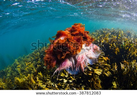 A lionsmane jellyfish in the seas of the inner Hebrides on the westcoast of Scotland