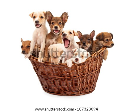 A litter of eight week old mixed breed rescue puppies in a wicker basket isolated against a white backdrop - stock photo