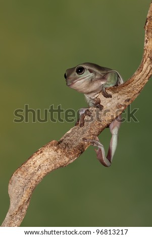 A little Australian tree frog (Litoria Caerulea) stretching his leg
