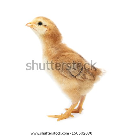 a little chicken on a white background - stock photo