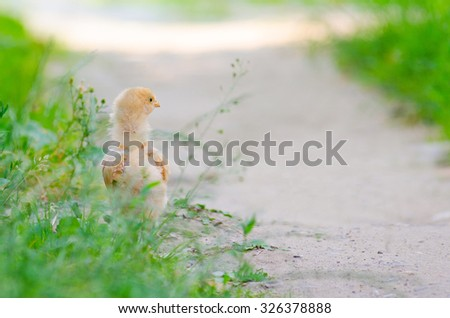 a little chickens on a grass, outdoor
