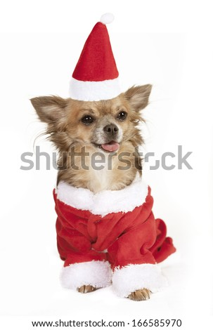 a little chihuahua dog sitting with stocking cap. He is dressed as Santa Claus - stock photo