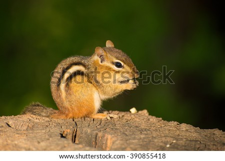 A little chipmunk getting ready to stash his feast of nuts - stock photo