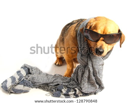 a little dachshund dog with scarf - stock photo