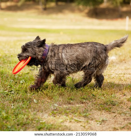 A little funny dog with a Frisbee  - stock photo